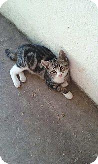 Domestic Shorthair Kitten for adoption in Alamo, California - Rozetta