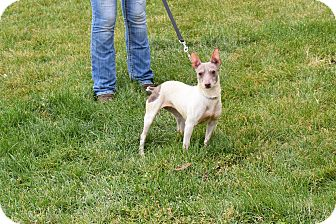 American Hairless Terrier/Rat Terrier Mix Dog for adoption in North Judson, Indiana - Sara