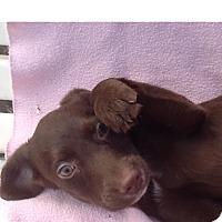 Adopt A Pet :: Lila - Mesa, AZ