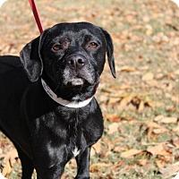 Adopt A Pet :: Ceasar - Conway, AR
