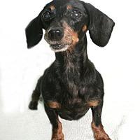 Adopt A Pet :: Tootsie - Pearland, TX