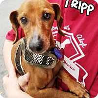 Adopt A Pet :: Tripp - San Antonio, TX