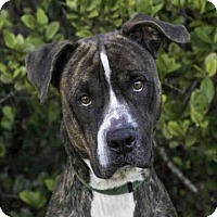 Adopt A Pet :: BRENT - West Palm Beach, FL
