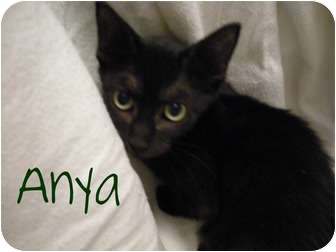 American Shorthair Kitten for adoption in Hurst, Texas - Anya-good luck kitty!