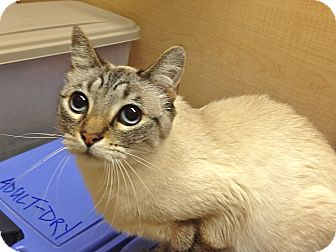 Siamese Cat for adoption in Foothill Ranch, California - Boo Bear