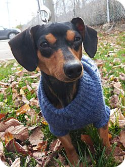 Dachshund Dog for adoption in Detroit, Michigan - Scooby-Adopted!