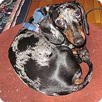 Adopt A Pet :: SHADRACK - Portland, OR