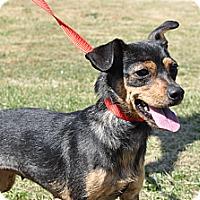 Adopt A Pet :: Scarlett - Tumwater, WA