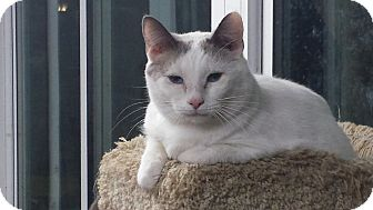 Siamese Cat for adoption in Shelbyville, Kentucky - Frisky