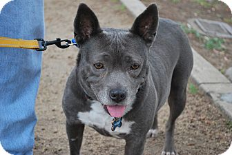 Pit Bull Terrier Mix Dog for adoption in Sherman Oaks, California - Nadia