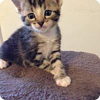 Adopt A Pet :: Titus - Bentonville, AR