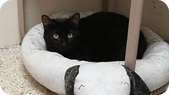 Domestic Shorthair Cat for adoption in marine, Michigan - Peg