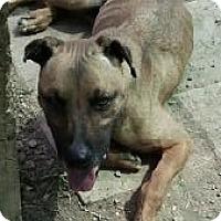 Shepherd (Unknown Type) Mix Dog for adoption in Midlothian, Virginia - Nikki