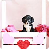 Adopt A Pet :: Steve - Waldorf, MD