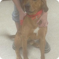 Adopt A Pet :: Red - Louisville, KY
