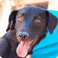 Hound (Unknown Type)/Spaniel (Unknown Type) Mix Dog for adoption in Las Vegas, Nevada - Athena