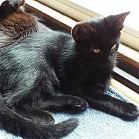Adopt A Pet :: Felix - Manhattan, KS
