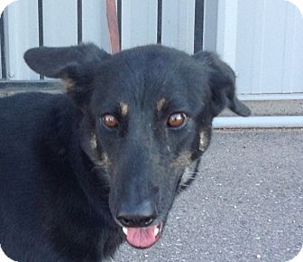German Shepherd Dog Mix Dog for adoption in PHOENIX, Arizona - Suki