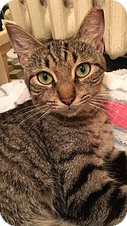 Domestic Shorthair Cat for adoption in Albany, New York - Mindy