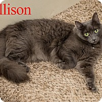 Domestic Shorthair Cat for adoption in Baltimore, Maryland - Allison