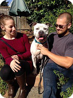 American Bulldog Mix Dog for adoption in Bellingham, Washington - Kaz