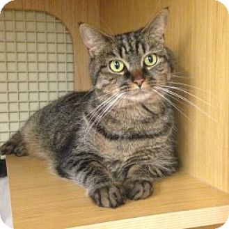 Domestic Mediumhair Cat for adoption in Balto, Maryland - Tabitha