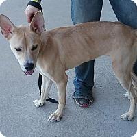 Labrador Retriever/German Shepherd Dog Mix Dog for adoption in Jacksonville, North Carolina - Thor