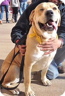 Labrador Retriever/Shar Pei Mix Dog for adoption in Rockville, Maryland - Gizmo