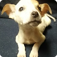 Boxer Mix Puppy for adoption in Albany, New York - Penelope