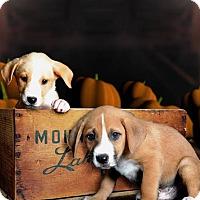 Adopt A Pet :: Drake - McKinney, TX