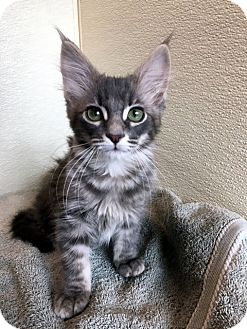Domestic Longhair Kitten for adoption in North Las Vegas, Nevada - Timmie