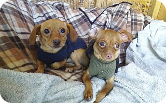 Dachshund/Miniature Pinscher Mix Puppy for adoption in Los Angeles, California - Adorable Prancer&Dancer