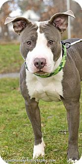 Pit Bull Terrier Mix Dog for adoption in Worcester, Massachusetts - Melman