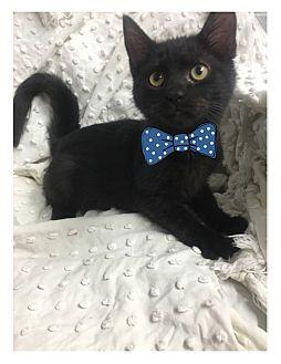 Domestic Shorthair Kitten for adoption in Paducah, Kentucky - Irwin