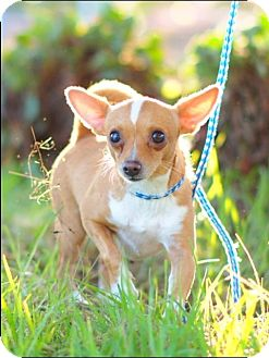 Chihuahua Dog for adoption in Corona, California - TUCKER