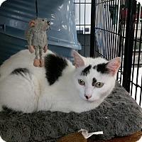 Adopt A Pet :: Domino - Columbus, OH