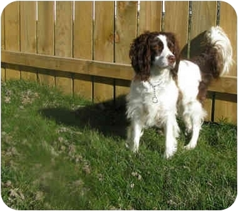 English Springer Spaniel Dog for adoption in Xenia, Ohio - Sadie