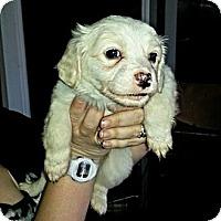 Adopt A Pet :: Kringle - Vista, CA