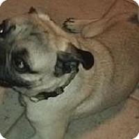 Adopt A Pet :: Jamie - what a great PUG! - Phoenix, AZ