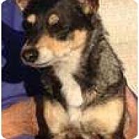 Adopt A Pet :: Cece - Gilbert, AZ