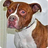 Adopt A Pet :: Atlas - Port Washington, NY