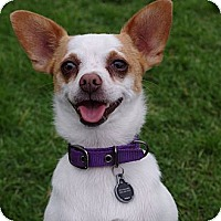 Adopt A Pet :: Bentley - Orange, CA