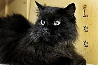 Domestic Longhair Cat for adoption in Centerton, Arkansas - Lee