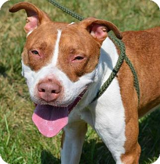 Pit Bull Terrier Mix Dog for adoption in Manhattan, New York - Cindy