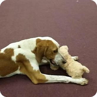 Hound (Unknown Type)/Harrier Mix Dog for adoption in Charlotte, North Carolina - Dallas
