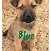 Adopt A Pet :: BP Blue - Tucson, AZ