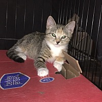 Calico Kitten for adoption in Sunny Isles Beach, Florida - Dolly