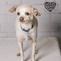 Terrier (Unknown Type, Small)/Poodle (Standard) Mix Dog for adoption in Inglewood, California - Jiminy