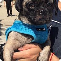 Pug Dog for adoption in Gardena, California - Sabrina