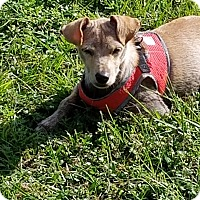 Italian Greyhound/Basenji Mix Puppy for adoption in Oakland, Florida - Hamburglar